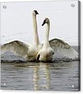 Trumpeter Swans Acrylic Print