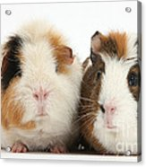 Two Guinea Pigs Acrylic Print