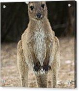 Western Grey Kangaroo Acrylic Print