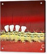 White Tussock Caterpillar Acrylic Print