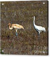 Whooping Cranes Acrylic Print