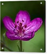 Wild Geranium Acrylic Print