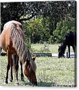Wild Spanish Mustang Foal Acrylic Print