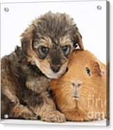 Yorkipoo Pup With Guinea Pig Acrylic Print