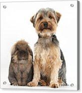 Yorkshire Terrier Dog Acrylic Print
