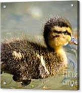 Young Duck Acrylic Print
