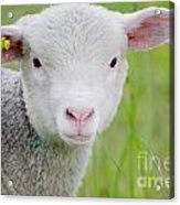 Young Sheep Acrylic Print