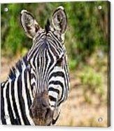 Zebras In The Masai Mara Acrylic Print