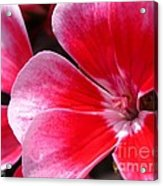 Zonal Geranium Named Candy Fantasy Kiss Acrylic Print