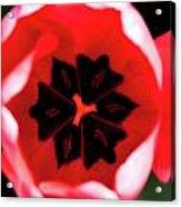 2012 Tulips 03 Acrylic Print