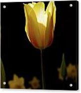 2012 Tulips 05 Acrylic Print