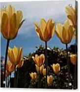 2012 Tulips 06 Acrylic Print
