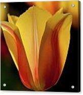2012 Tulips Acrylic Print