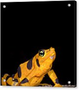 Harlequin Toad Acrylic Print
