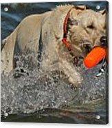 Yellow Labrador Acrylic Print