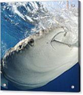 Whale Shark Feeding Under Fishing Acrylic Print
