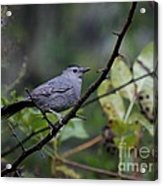 Gray Catbird Acrylic Print