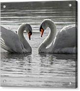 Mute Swans Acrylic Print