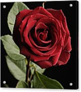 A Red Rose Rosaceae Acrylic Print