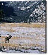 American Elk Cervus Elaphus Nelsoni Acrylic Print