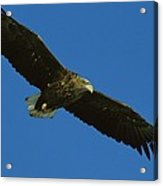 An Endangered White-tailed Sea Eagle Acrylic Print