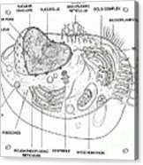 Animal Cell Diagram Acrylic Print