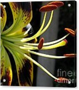 Asiatic Lily Named Black-eyed Cindy Acrylic Print