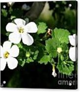 Bacopa Named Snowtopia Acrylic Print
