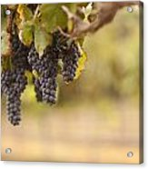 Beautiful Lush Grape Vineyard In The Morning Sun And Mist Acrylic Print by Andy Dean