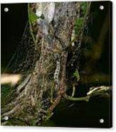 Bird-cherry Ermine Caterpillars Acrylic Print