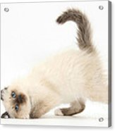 Birman-cross Kitten Acrylic Print