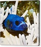 Blackspotted Puffer Acrylic Print by Georgette Douwma