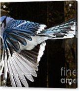 Blue Jay In Flight Acrylic Print