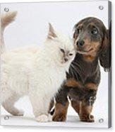 Blue-point Kitten & Dachshund Acrylic Print