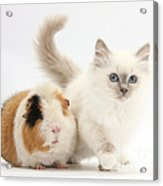 Blue-point Kitten And Guinea Pig Acrylic Print