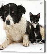 Border Collie And Tuxedo Kitten Acrylic Print