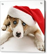 Border Collie Puppy Acrylic Print