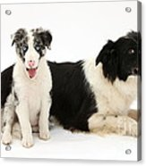Border Collies Acrylic Print