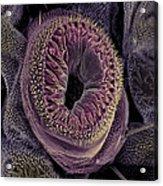 Caterpillar Foot, Sem Acrylic Print