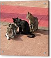 3 Cats Looking Pensive Acrylic Print