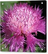 Centaurea From The Sweet Sultan Mix Acrylic Print