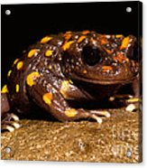 Chilean Mountains False Toad Acrylic Print