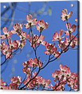Close View Of Pink Dogwood Blossoms Acrylic Print
