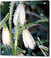 Common Snowdrops (galanthus Nivalis) Acrylic Print