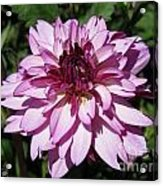Dahlia Named Lauren Michelle Acrylic Print