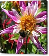Dahlia Named Lorona Dawn Acrylic Print