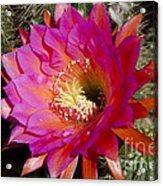 Dark Pink Cactus Flower Acrylic Print