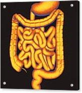 Digestive System Acrylic Print