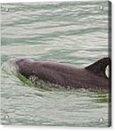 Dolphins Acrylic Print
