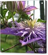 Double Clematis Named Crystal Fountain Acrylic Print